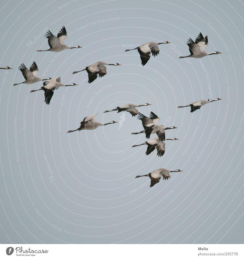 Bloß abhauen! Umwelt Natur Tier Luft Himmel Wildtier Vogel Kranich Tiergruppe Schwarm fliegen authentisch frei Zusammensein natürlich Freiheit Vogelschwarm