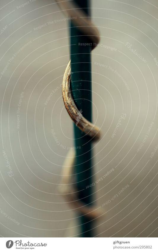 abgedreht grün Pflanze Wege & Pfade Wachstum Wandel & Veränderung Ewigkeit drehen vertrocknet Spirale Stab Windung wickeln