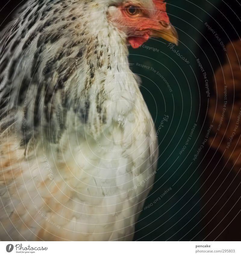 S weiß rot Tier Erholung Umwelt ästhetisch Tiergesicht Bauernhof Haustier Ei Stolz Nutztier Haushuhn Sinnesorgane Überleben unschuldig