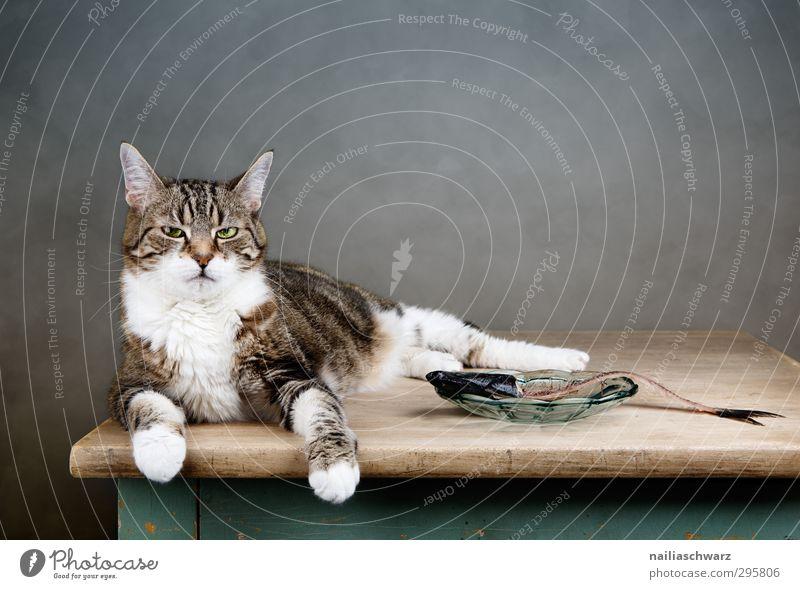 Boss Fisch Diät Tier Haustier Katze 1 Teller beobachten Erholung Essen genießen liegen dick lustig niedlich rebellisch rund blau braun grau Tierliebe Langeweile