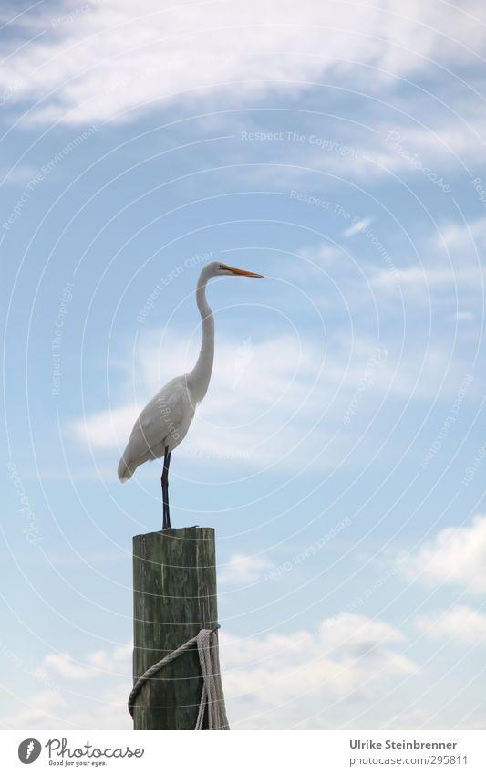 Überblick Tier Luft Himmel Wolken Frühling Küste Wildtier Vogel Silberreiher Reiher Schreitvogel 1 Holz beobachten stehen natürlich dünn stark weiß Kraft