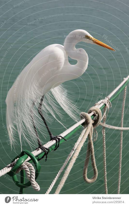 Früh krümmt sich.... grün schön Wasser weiß Meer Tier Küste Vogel Wellen Wind Wildtier sitzen stehen ästhetisch Feder Seil