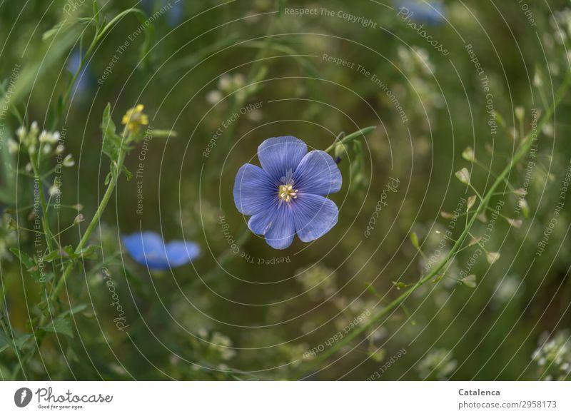 Leinblüten und Hirtentäschel Natur Pflanze blau schön grün weiß Blume Blatt gelb Umwelt Blüte Frühling natürlich Wiese Garten Wachstum