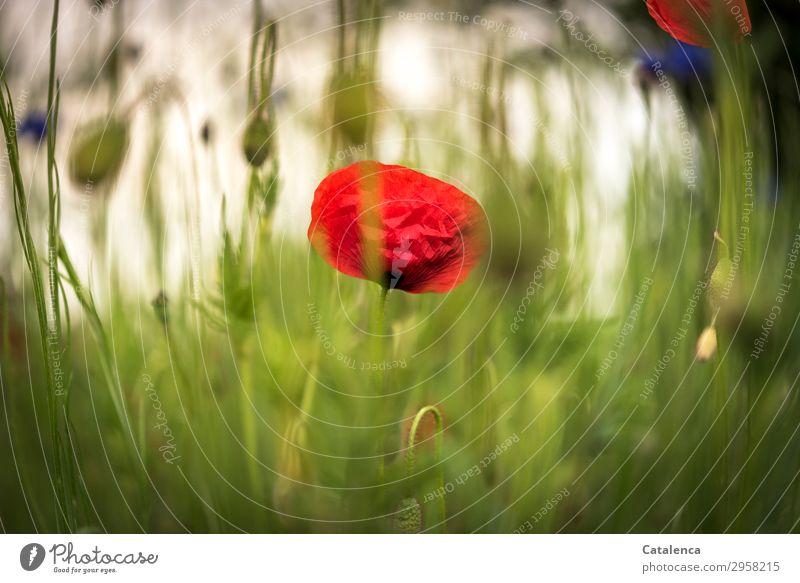 Klatschmohn Natur Pflanze Frühling Blume Gras Blatt Blüte Wildpflanze Mohn Kornblume Graswiese Garten Wiese Blumenwiese Blühend Duft verblüht dehydrieren frisch