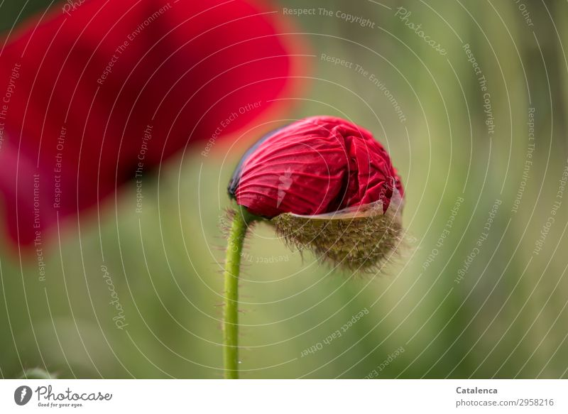 Entfaltung Natur Pflanze schön grün rot Blume schwarz Leben Umwelt Blüte Frühling Wiese Gras Garten ästhetisch Fröhlichkeit