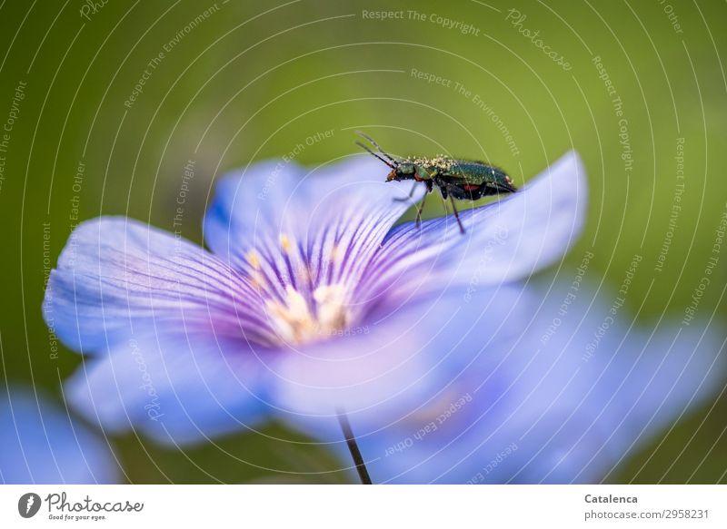 Blattkäfer Natur Pflanze blau schön grün Blume Tier Leben Umwelt Blüte Frühling Wiese klein Garten rosa Feld