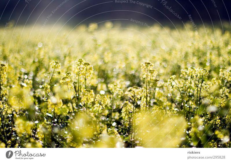 lichtermeer Natur Sommer Pflanze Sonne Landschaft Umwelt gelb Herbst Wetter Feld glänzend Nebel leuchten Schönes Wetter frei frisch