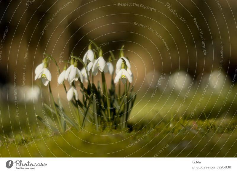 Frühling Schönes Wetter Blume Moos Wildpflanze Schneeglöckchen Garten Park Wiese Europa Blühend Duft glänzend hängen hell klein natürlich gelb grün weiß