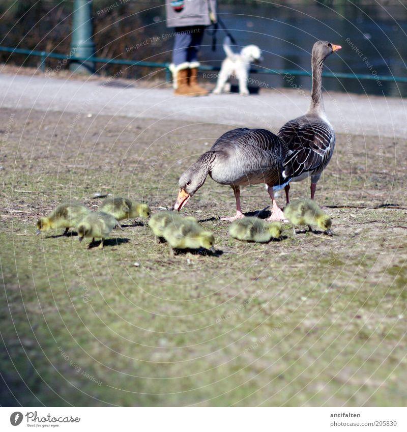 We are family 1 Mensch Natur Frühling Schönes Wetter Eis Frost Park Wiese Seeufer Jeanshose Stiefel Tier Wildtier Flügel Gans Tiergruppe Tierfamilie beobachten