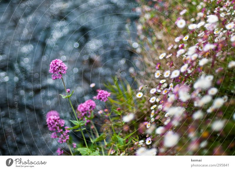 Bachblümchen Umwelt Natur Landschaft Pflanze Wasser Sommer Blume Sträucher Blatt Blüte Wildpflanze Gänseblümchen Fluss Flussufer Böschung Blühend Wachstum schön