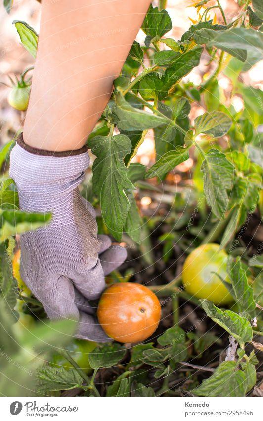Bauer pflückt Bio-Tomaten aus dem Gemüsegarten. Lebensmittel Frucht Bioprodukte Vegetarische Ernährung Lifestyle Gesundheit Gesunde Ernährung Wellness