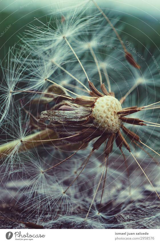 Löwenzahnblütenpflanze im Sommer in der Natur Blume Pflanze Samen geblümt Garten Dekoration & Verzierung abstrakt Konsistenz weich Außenaufnahme