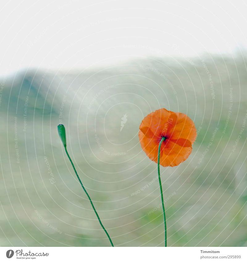 Happy Birthday Barbaclara. Ferien & Urlaub & Reisen Sommer Umwelt Natur Pflanze Mohnblüte Dänemark Blühend Wachstum ästhetisch einfach grün orange Gefühle Düne