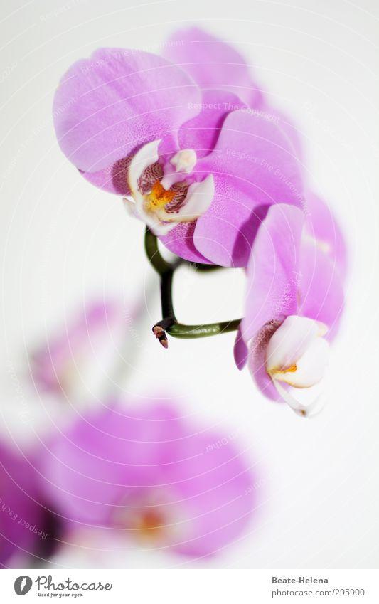 Blütenträume für Barbaclara elegant exotisch Natur Pflanze Blume Orchideenblüte Blühend Duft außergewöhnlich schön gelb violett weiß ästhetisch Farbe