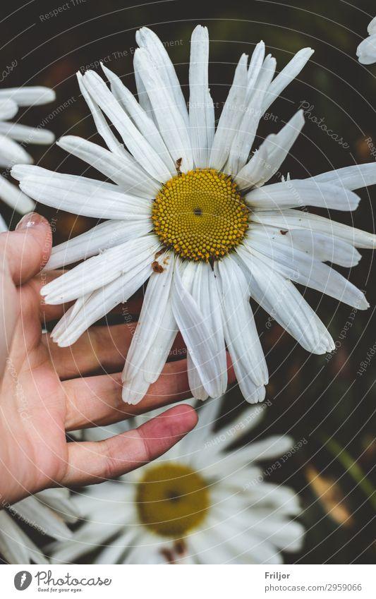 Giganteum Natur Sommer Pflanze schön weiß Blume gelb Blüte Frühling natürlich Garten wild Park berühren Gänseblümchen Margerite