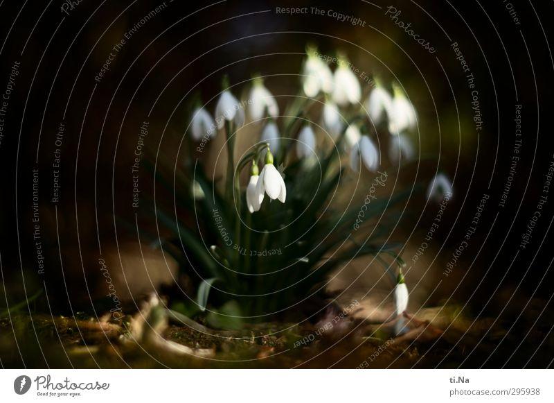 Frühling Wildpflanze Schneeglöckchen Garten Park Wald Blühend Duft hängen Wachstum elegant schön klein natürlich niedlich braun grün schwarz weiß
