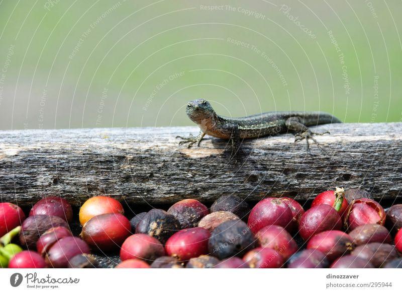grün Pflanze rot Tier klein frisch niedlich beobachten exotisch Reptil Azoren