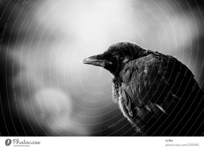 Jugendfoto | Flügge werden schön dunkel Tierjunges klein Garten Vogel Wildtier sitzen warten Flügel entdecken Krähe