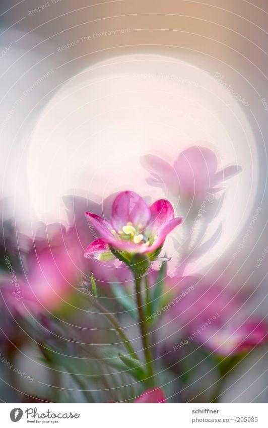 Lichtblick Pflanze Frühling Blume Duft Fröhlichkeit grün rosa Blüte Blütenpflanze Blütenblatt Blütenstempel Lichterscheinung Reflexion & Spiegelung Lichtspiel