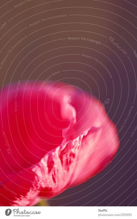 schon wieder Mohntag Natur Pflanze Farbe Sommer Blume rot Blüte rosa Dekoration & Verzierung Geburtstag Blühend Romantik zart Blütenblatt Valentinstag
