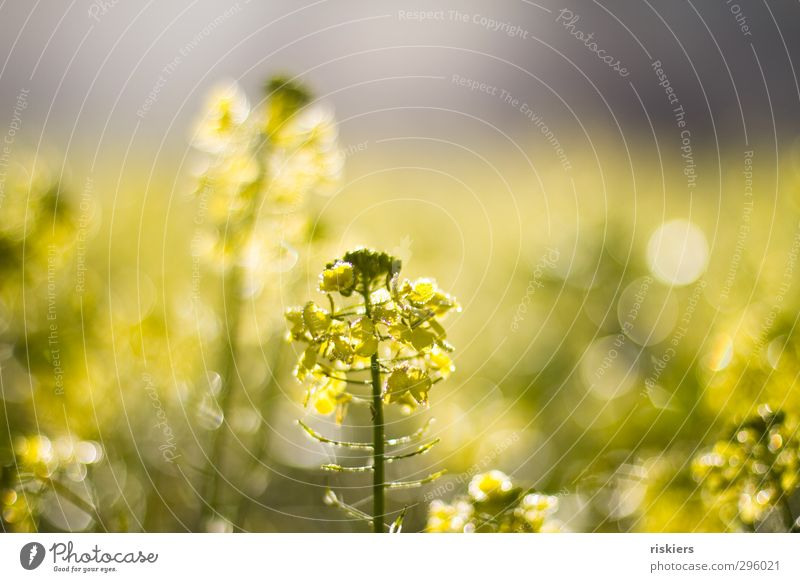 lichtermeer ii Natur Pflanze Sonne Landschaft Umwelt gelb Herbst Frühling Feld glänzend Wachstum leuchten Schönes Wetter frisch Idylle Fröhlichkeit