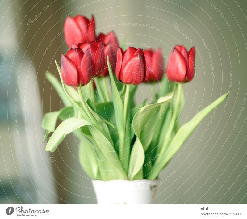 Frühlingsanfang – rot Umwelt Natur Pflanze Tulpe grün Frühlingsgefühle Blume Blumenstrauß Blüte Vase Farbfoto Innenaufnahme Detailaufnahme Morgen Tag Kontrast