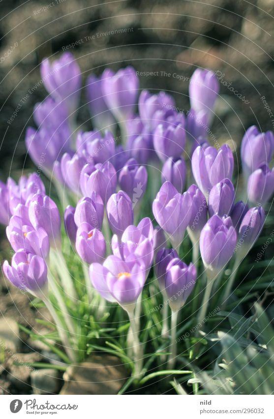 Frühlingsanfang – lila Umwelt Natur Pflanze Krokusse Blume Garten violett Frühlingsgefühle Blüte Farbfoto Außenaufnahme Detailaufnahme Textfreiraum oben Abend