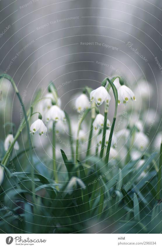 Frühlingsanfang – weiß Umwelt Natur Pflanze Blume Blüte Maiglöckchen grün Frühlingsgefühle Farbfoto Außenaufnahme Textfreiraum oben Textfreiraum unten Tag Abend
