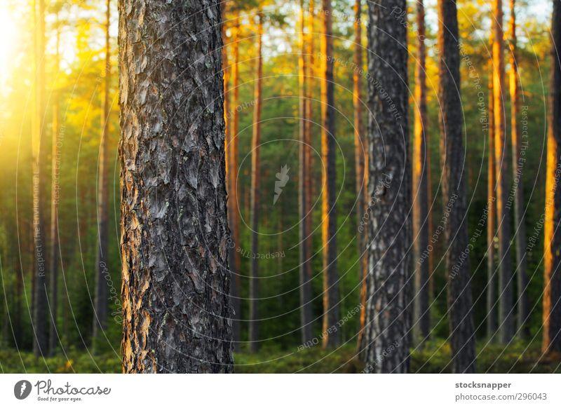Kiefernwald nordisch Wald Abend Licht Lichterscheinung Baum Natur natürlich Finnland Finnisch Menschenleer Außenaufnahme Sommer Skandinavien