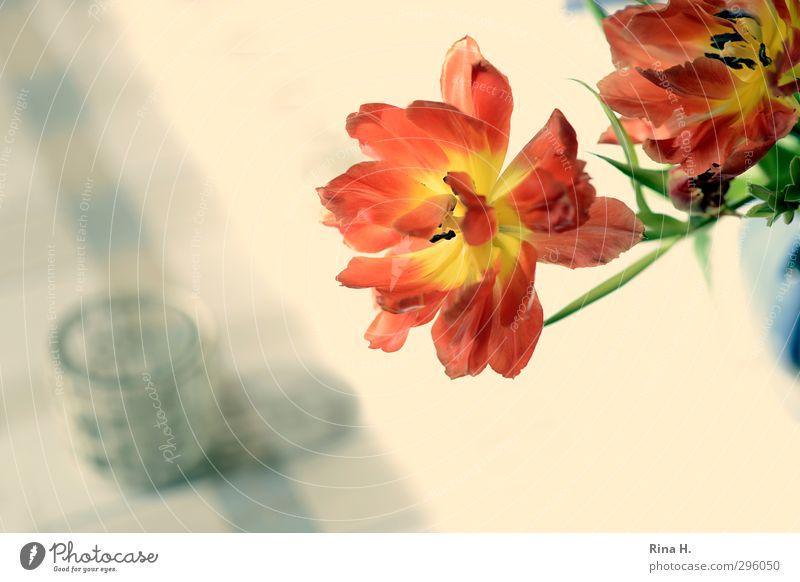 Im Auge des Betrachters Glas Blume Tulpe Blühend verblüht Gefühle Vergänglichkeit Stillleben Tischwäsche Farbfoto Innenaufnahme Menschenleer Vogelperspektive