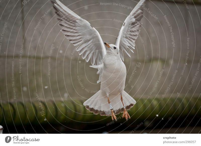 Fly me to the moon... Tier Vogel 1 fliegen Alster Binnenalster Hamburg Möven Möbel Flügelschlag aufsteigen Farbfoto Außenaufnahme Tag Tierporträt