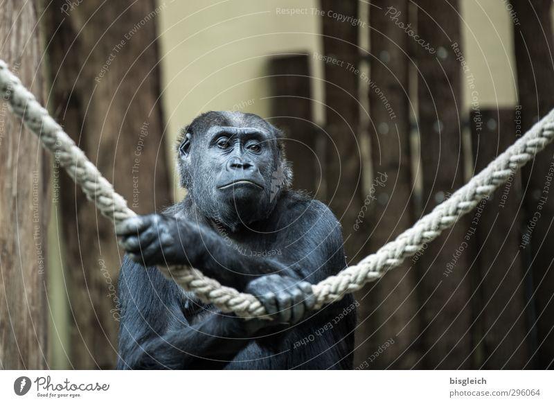 Gorilladame Tier Wildtier Tiergesicht Pfote Zoo Affen 1 Seil träumen Traurigkeit braun grau schwarz Farbfoto Gedeckte Farben Innenaufnahme Textfreiraum oben