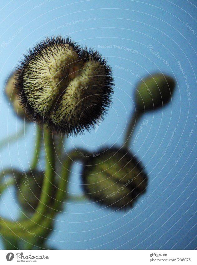 spiky Natur Pflanze Blume Wachstum Mohn Blütenknospen stachelig Pflanzenteile Stengel Frühling geschlossen Spalte Stachel blau grün Jungpflanze Klatschmohn