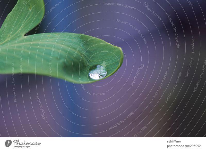 Krokodilsträne Natur Pflanze Blatt Grünpflanze glänzend grün hydrophob Wassertropfen Tropfen rund eingebettet einzeln Grüner Daumen Landkreis Regen