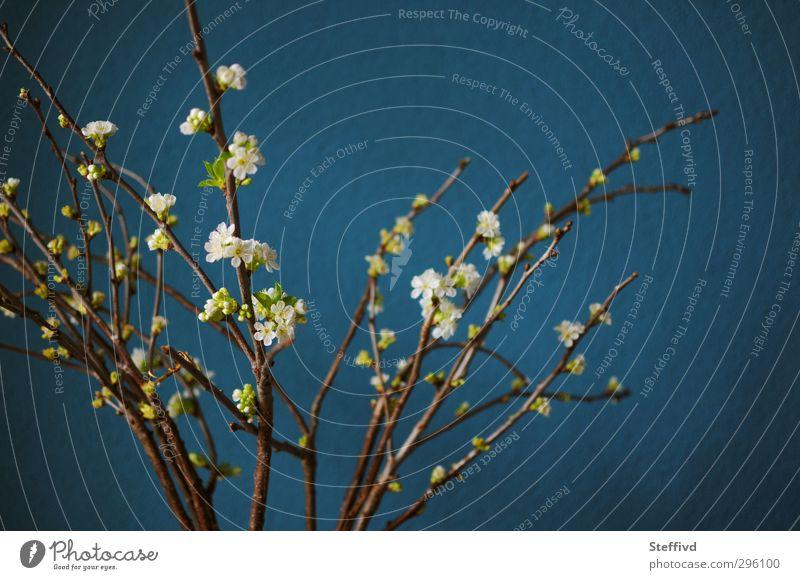 Und der Frühling kommt doch! Natur Pflanze Blüte Blühend ästhetisch blau Stimmung Fröhlichkeit Zufriedenheit Lebensfreude Frühlingsgefühle Vorfreude