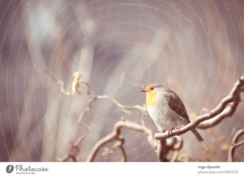 Rotkehlchen Natur Pflanze Baum Tier Winter Umwelt kalt Garten Vogel Wildtier Sträucher Jahreszeiten kahl Haselnuss Winterstimmung Rotkehlchen