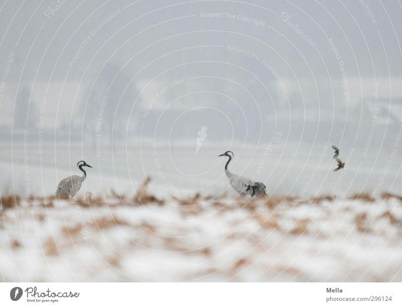 Zu zweit zu zweit Umwelt Natur Landschaft Tier Erde Winter Klima Wetter schlechtes Wetter Nebel Schnee Feld Wildtier Vogel Kranich 2 Tierpaar fliegen stehen