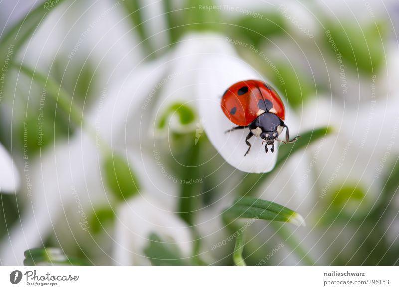Marienkäfer grün schön weiß Pflanze rot Freude Blume Tier Frühling Bewegung Glück natürlich leuchten Fröhlichkeit niedlich beobachten
