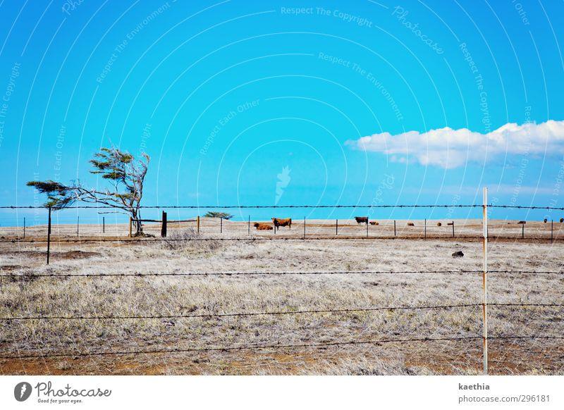 cow tv Ferien & Urlaub & Reisen Ausflug Abenteuer Expedition wandern Pflanze Erde Sand Himmel Wolken Dürre Baum Gras Feld Wüste Nutztier Kuh Tiergruppe Metall