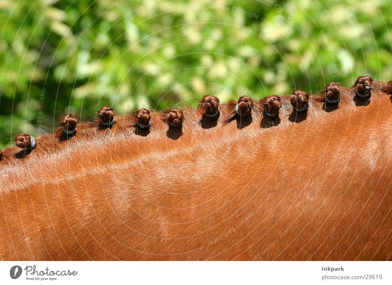 Stockmaß Verkehr Pferd Hals Zopf Nacken