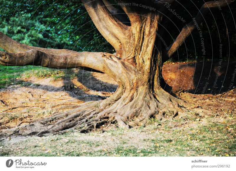 Wurzelsepp Umwelt Natur Pflanze Baum Park alt verwurzelt Baumstamm Baumrinde Ast Abenddämmerung erleuchten Warmes Licht Sträucher Wiese Weisheit Furche