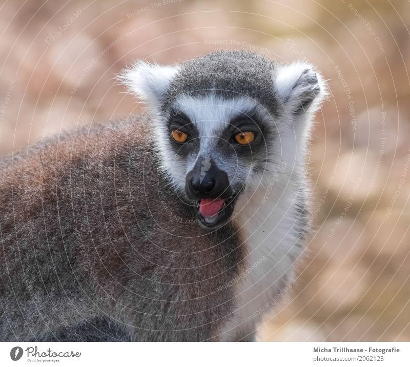 Rufender Affe Natur Tier Sonne Sonnenlicht Schönes Wetter Wildtier Tiergesicht Fell Affen Katta Halbaffen Auge Zunge Maul Ohr 1 beobachten Kommunizieren