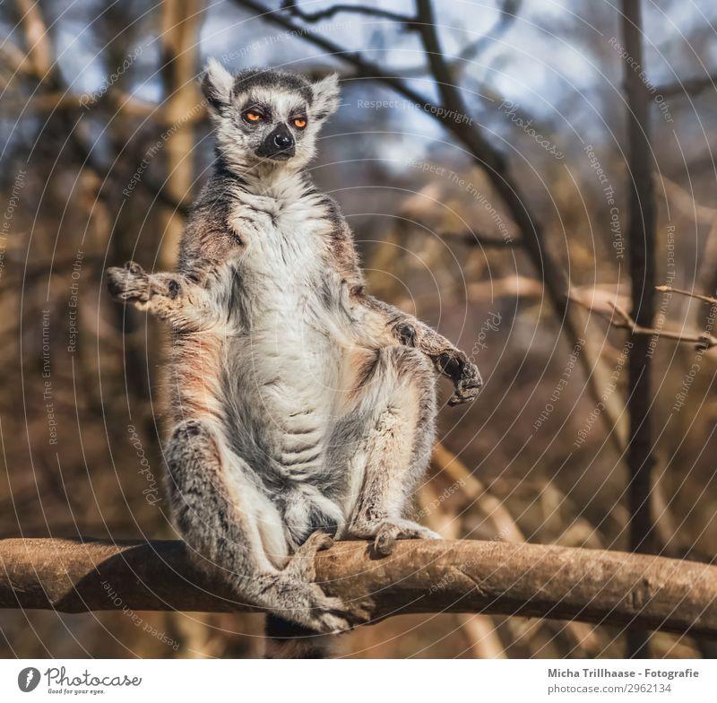 Affe nimmt ein Sonnenbad Himmel Natur blau weiß Baum Erholung Tier Wald schwarz Auge Beine lustig orange braun Wildtier