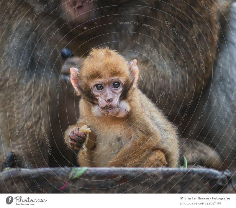 Affenbaby mit Hamsterbacken Natur Tier schwarz gelb Auge natürlich lustig orange braun glänzend Wildtier Schönes Wetter niedlich beobachten Ohr nah