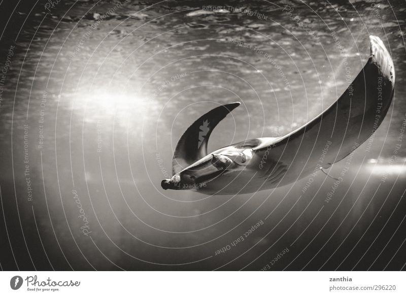 Manta Tier Aquarium 1 Schwimmen & Baden Einsamkeit einzigartig elegant Leben Leichtigkeit Natur Ferien & Urlaub & Reisen ruhig Stolz Umwelt Umweltverschmutzung