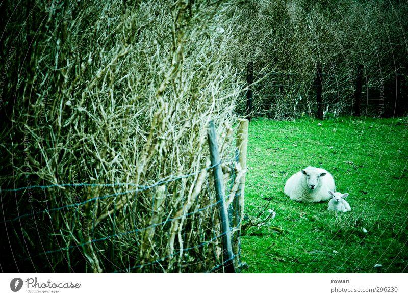 Schafsmama Natur Tier Gras Wiese Feld 2 grün Lamm Mutter Hecke Versteck liegen ruhig behüten Geborgenheit Farbfoto Außenaufnahme Menschenleer Tierfamilie