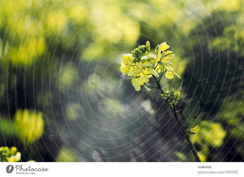 lichtermeer iii Natur Pflanze Sonne Landschaft Umwelt gelb Herbst Frühling Blüte Feld Kraft glänzend Wachstum leuchten Schönes Wetter frisch