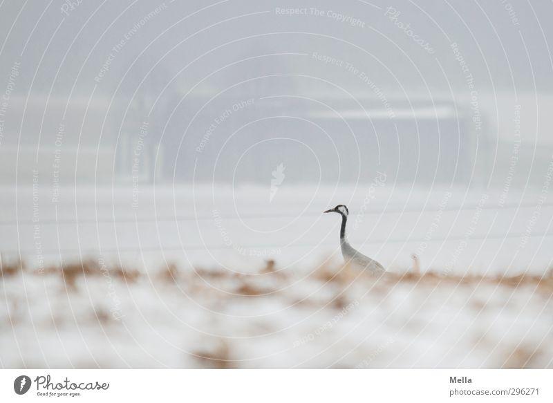 Späher Umwelt Natur Landschaft Tier Erde Winter Nebel Schnee Feld Haus Scheune Wildtier Vogel Kranich 1 Blick stehen frei hell natürlich Neugier trist Freiheit