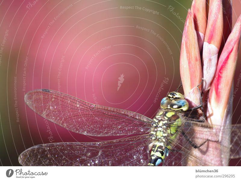 Mosaik Tier Wildtier Libelle Groß Libelle Edellibellen Mosaikjungfer 1 sitzen ästhetisch elegant groß dünn blau mehrfarbig grün Insekt schimmern faszinierend