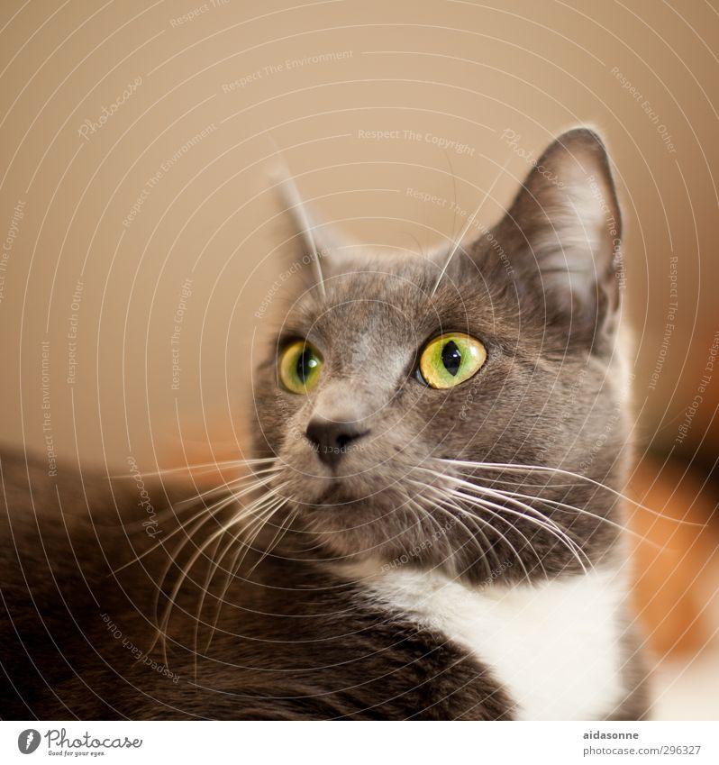Katze schön Tier glänzend weich Haustier